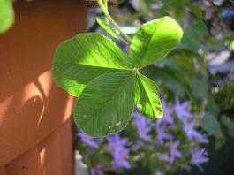 clover5.jpg