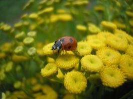 Biedronka - Ladybug