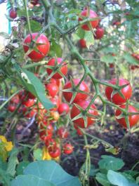 Pomidory czereśniowe - Cherry tomatoes