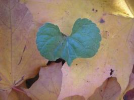 Liściaste serce - Leaf heart