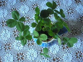 Czterolistne koniczyna - Four-leaf clover