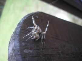 Pająk - Spider