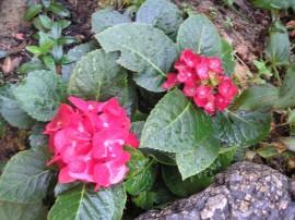 Hortensja - Hydrangea