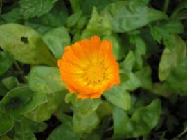 Nagietki - Marigolds